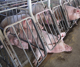 pig treatment not on food labels
